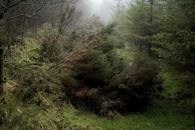 spruce_10