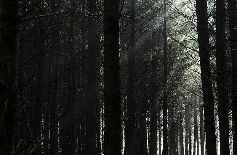 spruce_12
