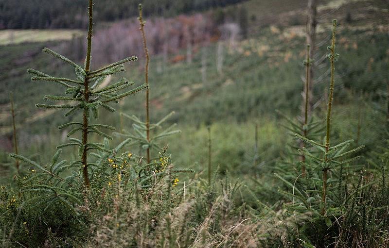 spruce_15