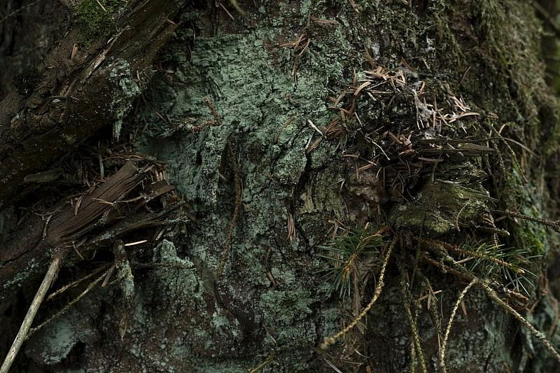 spruce_20