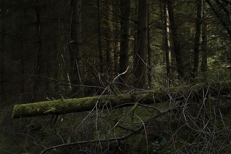 spruce_5
